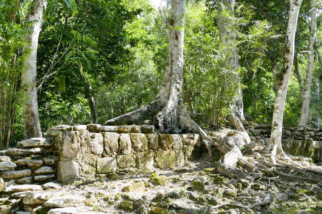 Calakmul, Baeume erobern die Pyramiden