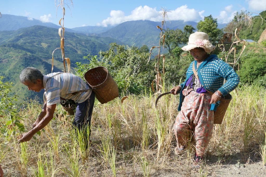 Chin State, Wanderung Tag 3, beim Ernten von Hirse