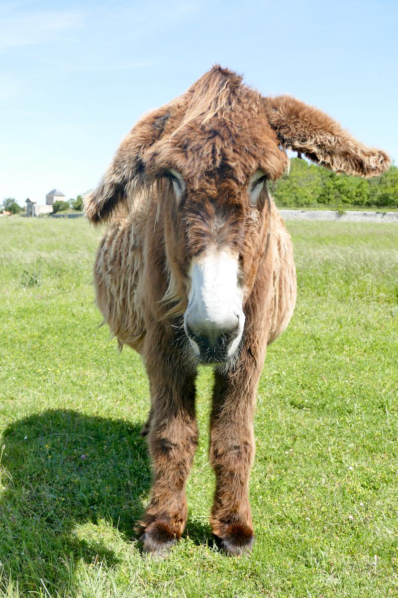 Ile de Re, Poitou-Esel auf der Weide