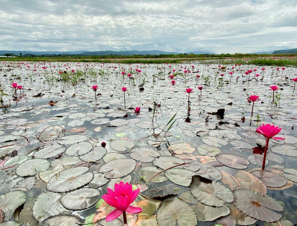 Inle Lake, Lotus soweit das Auge reicht