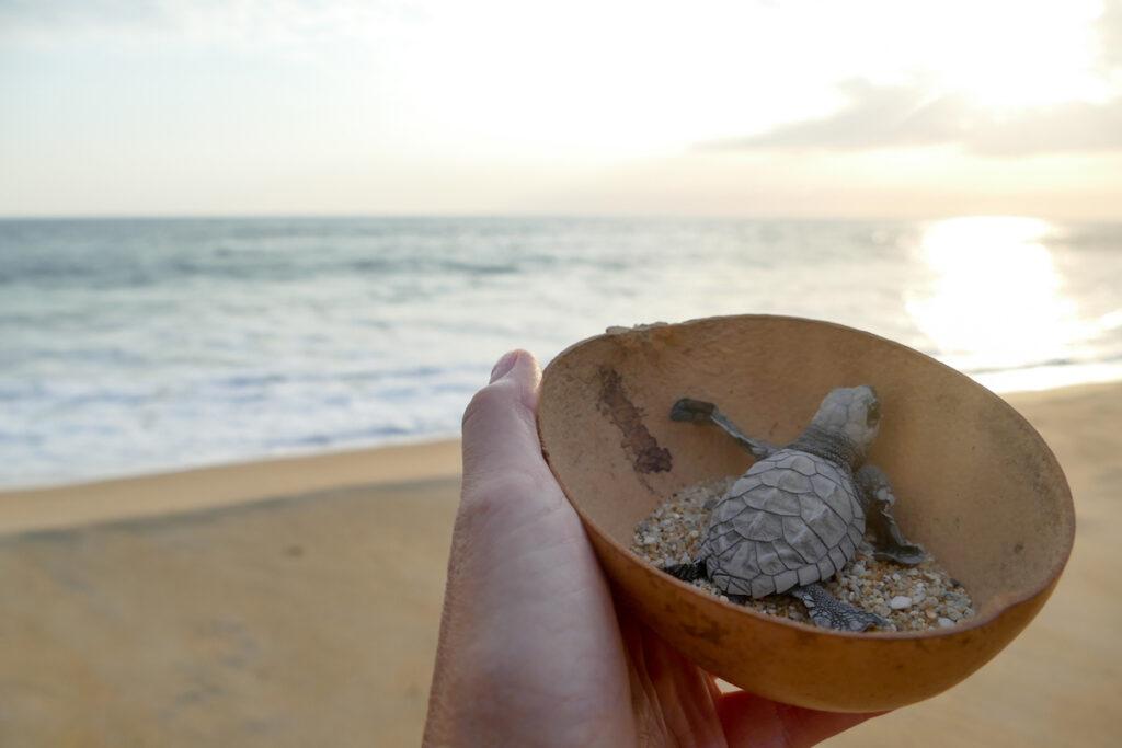 Puerto Escondido, Vive Mar, Schildkroetenbaby auf dem Weg ins Meer