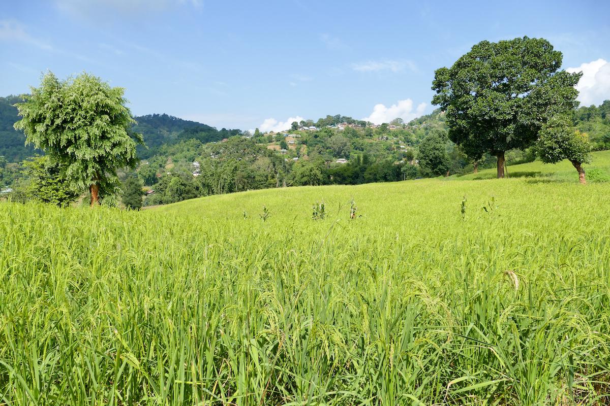 Shan State, Trekking, Reisfelder auf dem Weg nach Man Loi