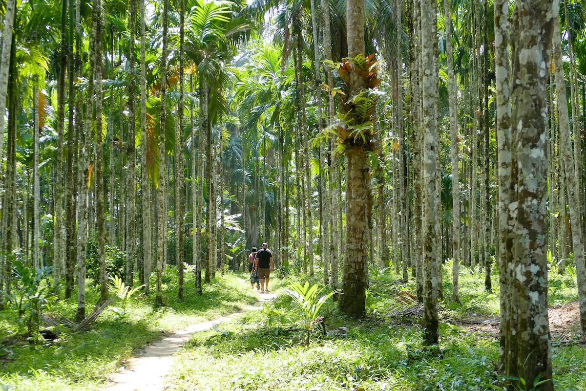 Tanintharyi, wir wandern durch einen Wald von Betelpalmen
