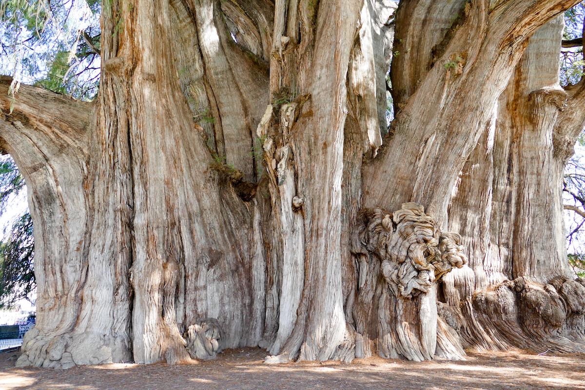 Tule, Arbol del Tule, der dickste Baum der Welt